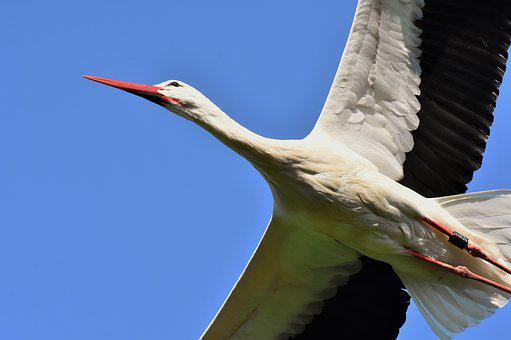 Stork, Fly, Wing, Birds, Plumage, Nature, Animals