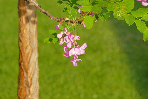 Acacia, Pink, Tribe, Flower, Spring, A Branch, Letter