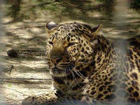 Leopard Spotted, Animal