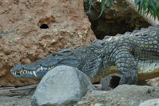 Reptile, Nature, Animal, Animal World, Risk, Crocodile