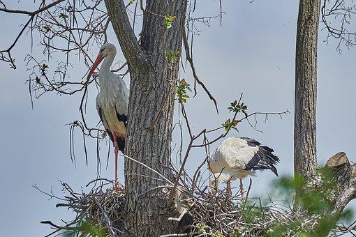 Stork, Nest, Egg, Scrim, Animal World, Bird, Animal