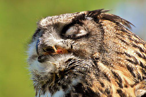 Owl, Bird, Prey, Feather, Eagle Owl, Animals, Wild Bird