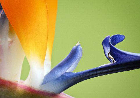 Bird Of Paradise, Flower, Floral, Colorful, Natural