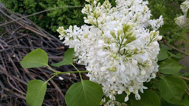 Lilac, Flower, Nature, Plant, Leaf, Season, White, Bush