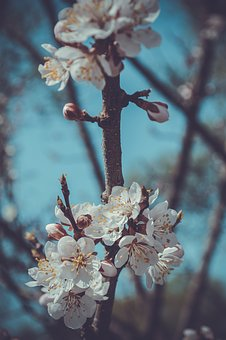 Flower, Cherry, Branch, Tree, Nature, Plant, Apple