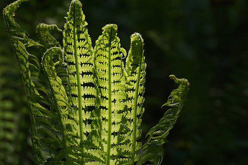 Fern, Fiddlehead, Vessel Sporenpflanze, Green, Plant