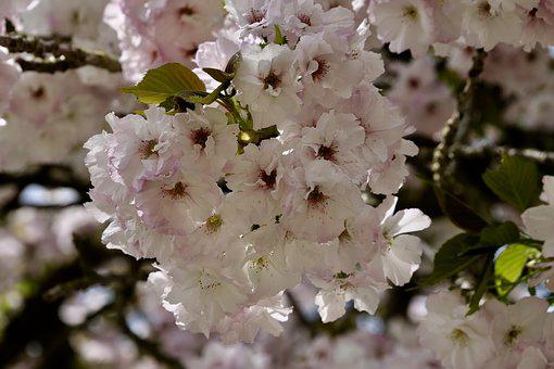 Cherry Blossom, Plant, Nature, Cherry Wood, Flowers