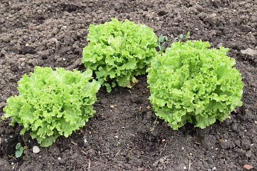 Lettuce Grown, Earth, Plant, Freshness