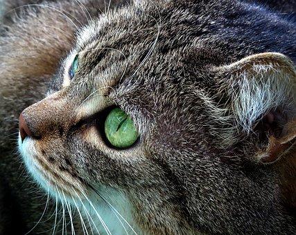 Cat, Kitten, Gray Cat, Fur, Futrzak, Kitty