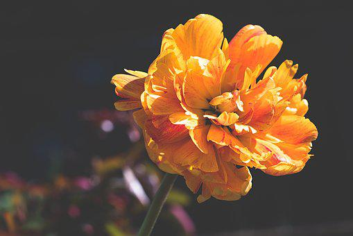 Peony, Orange, Orange Flower, Flower, Garden
