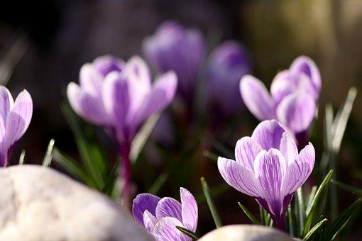 Crocus, Plant, Vernal, Garden, Flowers