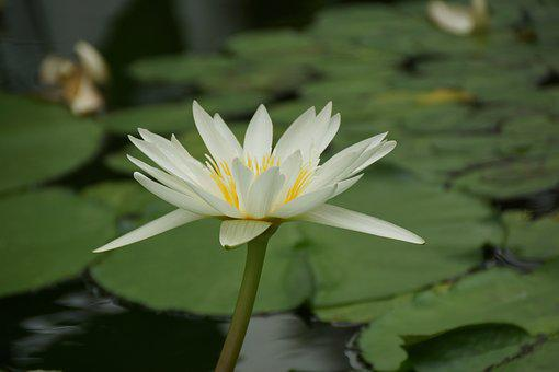 Pool, Lotus, Flower, Aquatic, Lily, Waterlily, Tropical