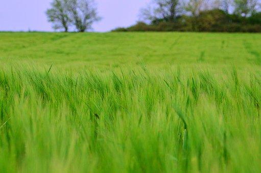 Lawn, Field, Meadow, Farm, Nature, Rural Areas, Grain