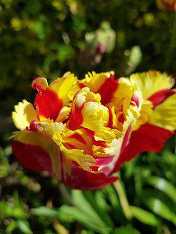 Nature, Flower, Flora, Garden, Leaf, Parrot Tulip