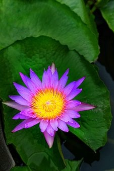 Nymphaea Stellata Waterlily, Lily, Nature, Flower, Leaf