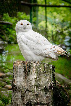 Nature, Bird, Animal World, Wood, Tree, Owl, Snowy Owl