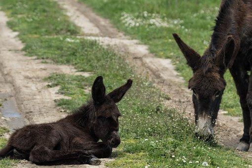 Spain, Madrid, Guadalix De La Sierra, Platero, Donkey