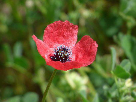 Papaver Hybridum, Poppy, Sad Poppy, Pistils, Nature