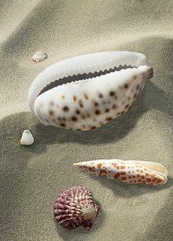 Shell, Sea Snail, Kauri, Sea, Beach, Shellfish, Sand