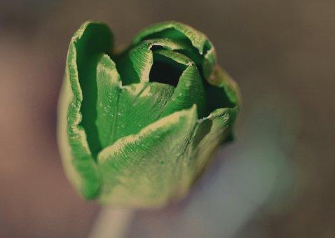Flower, Tulip, Plant, Nature, Spring, Garden