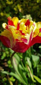 Flower, Nature, Flora, Tulip, Garden, Field
