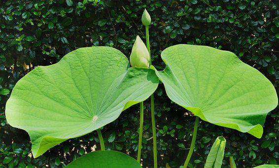 Indian Lotus, Buds, Growth, Large, Twin, Leaf, Flora