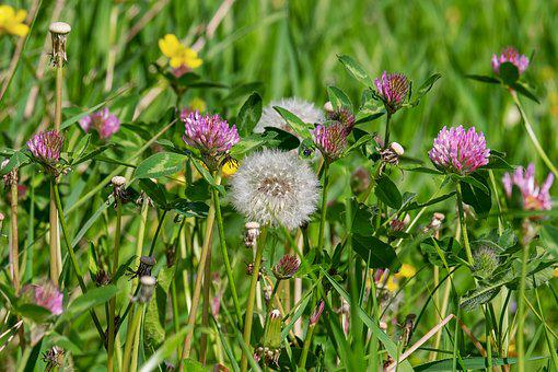 Pointed Flower, Wild Flowers, Natural Plant, Wiesenklee