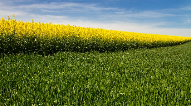 Oilseed Rape, Field Of Rapeseeds, Yellow, Diagonal