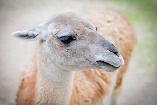 Wool, Lama, Animal, Cute, Alpaca, Zoo, Fluffy, Sweet