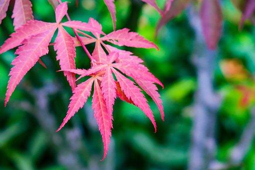 Acer Palmatum, Leaf, Nature, Plant, Garden, Outdoor