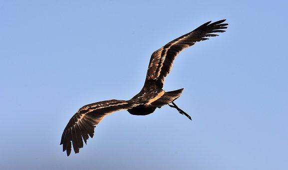 Adler, Raptor, Bird Of Prey, Animal, Flying, Noble