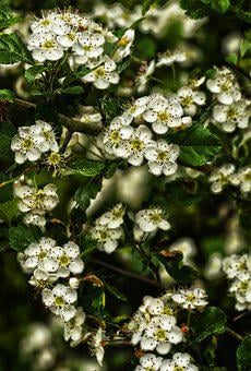 Blossom, Bloom, Schlehe, Blackthorn Flowers, Blackthorn