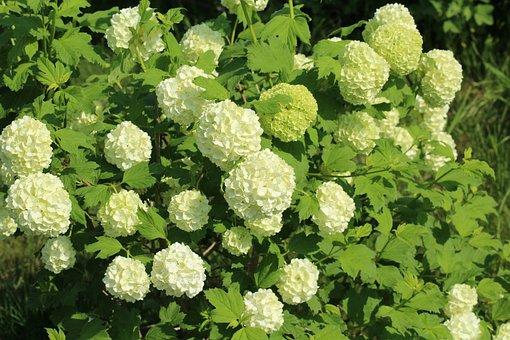 Viburnum, Bush, Dashing, Plant, Nature, Spring, Flower