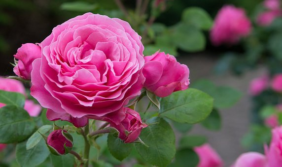 Rose, Flowers, Rosebush, Ornamental Shrub, English Rose