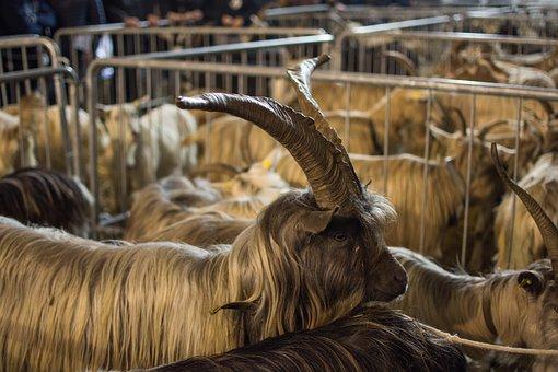 Mammalia, Animalia, Livestock, Farm, Goat, Capra, Flock