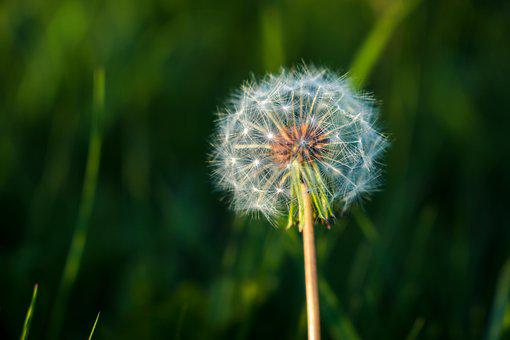 Taraxacum, Lawn, Plant, Nature, Summer, Flower
