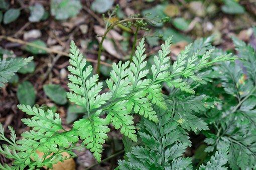 Fern, Plant, Nature, Leaf, Flower, Outdoor, Summer