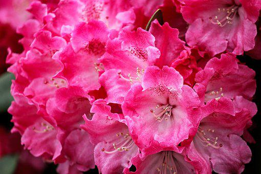 Rhododendron, Blossom, Bloom, Red, Light Red, Flower