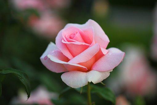 Flowers, Rose, Plants, Petal, Nature, Romantic, Vivid