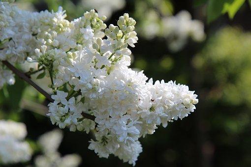 Lilac, White Lilac, Spring Season, Lilac Button