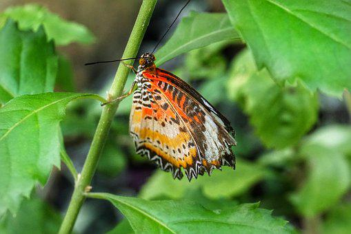 Butterfly, Leopard Lacewing, Nature, Insect, Leaf