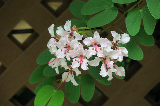 Bauhinia, Hong Kong, Flower, Nature, Plant, Leaf, Petal