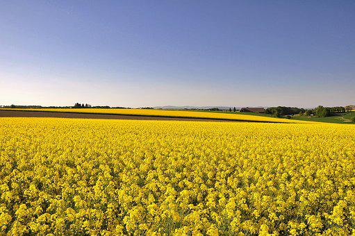 Field, Agriculture, Landscape, Nature, Spring, Yellow