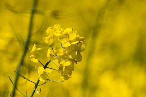 Flower, Nature, Plant, Agriculture, Field, Oilseed Rape