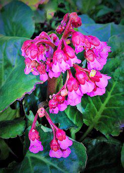 Plant, Shrub, Red Pink Flowers, In Bell Shape