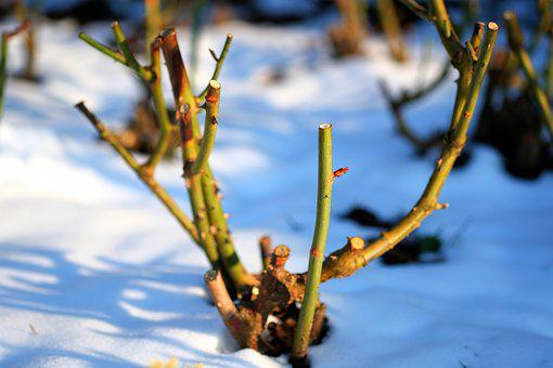 Winter, Rose, Cold, Nature, Wintry, Rose Family, Snow