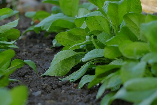 Spinach, Ground, The Preparation Of The, Soil