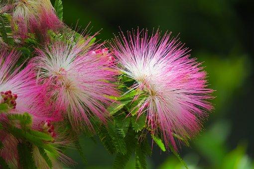 Acacia, Nature, Flower, Plant, Leaf, Summer, Tree
