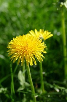 Dandelion, Blossom, Bloom, Yellow, Taraxacum Officinale