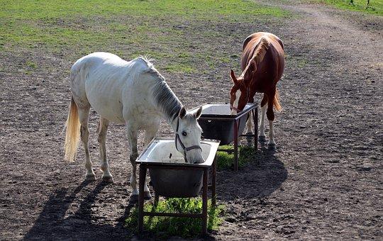 Horse, Thirst, Animal, Bay